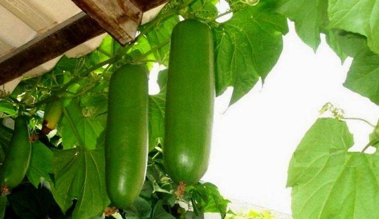 На юге Одесской области фермер вырастил на огороде экзотические бразильские овощи