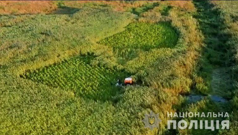 Полторы тысячи квадратных метров: в плавнях Ренийского района обнаружили небывалый урожай конопли