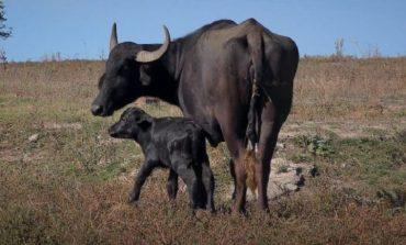 В Одесской области на территории экопарка родился буйволенок