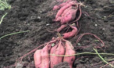 В Измаильском районе собирают урожай необычной культуры