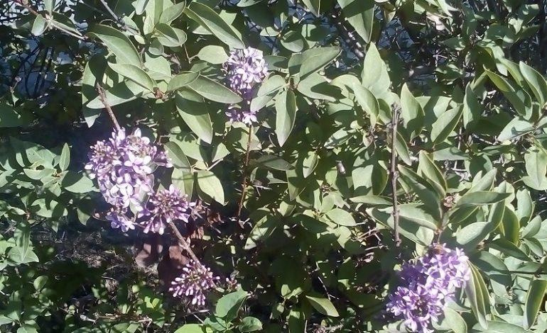 Чудеса природы в Арцизе: в ноябре цветёт сирень (фотофакт)