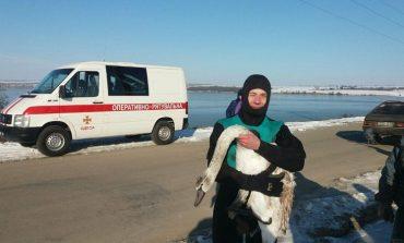 В Одесской области спасли из ледяного плена замерзающих лебедей