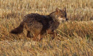 В Одесской области шакал напал на человека, теперь этих диких животных отстреливают