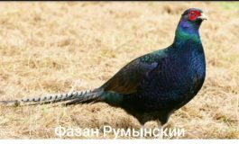 На юге Одесской области выпустили на волю новый вид фазанов