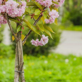 В Одессе в парке Победы зацвела сакура (фото)