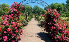 Арки из роз: в Одесском ботсаду сезон королевы цветов (фото)