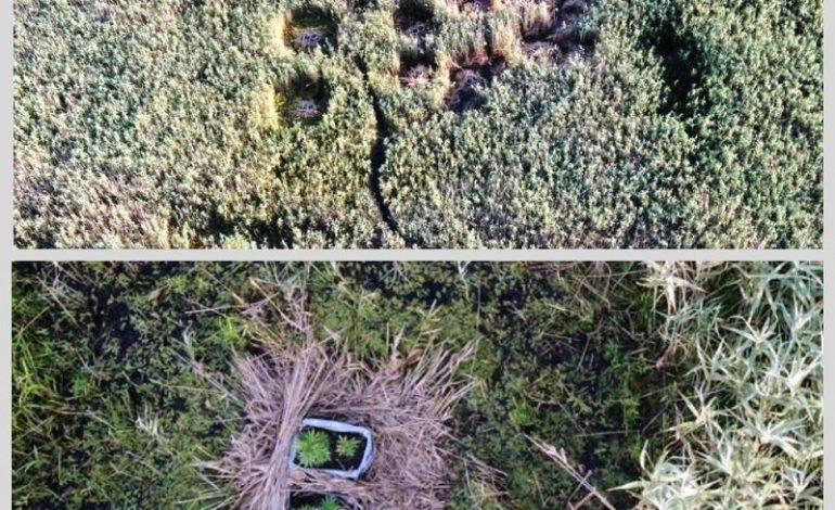 В Измаильском районе обнаружили полтысячи кустов конопли (фото)