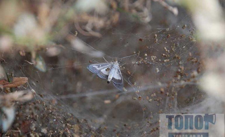 Болград атакует американская бабочка (фотофакт)