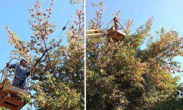 В Болграде начали борьбу с американской бабочкой